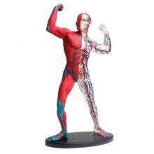 Anatomimodell - Muskler och skelett