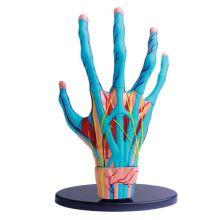 Anatomimodell - Hand med muskler och senor
