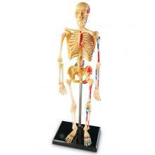 Anatomimodell - Skelett