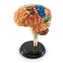 Anatomimodell - Hjärna