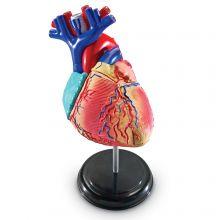 Anatomimodell - Hjärta