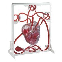 Det pumpande hjärtat