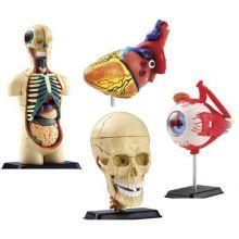 Anatomimodell - Set m. 4 modeller